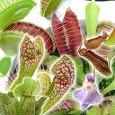 (食虫植物)おまかせ食虫植物 2.5〜3号(1ポット)