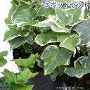 (観葉植物)ヘデラ(アイビー)(品種おまかせ) 3号(3ポット) 北海道冬季発送不可