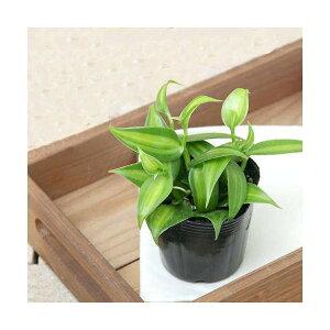 ガーデニング>観葉植物>3号鉢(ポット)(観葉)バニラの木 3号(1ポット)