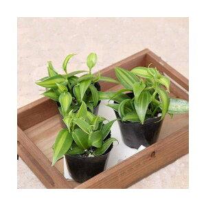 ガーデニング>観葉植物>3号鉢(ポット)(観葉)バニラの木 3号(お買い得3ポットセット)
