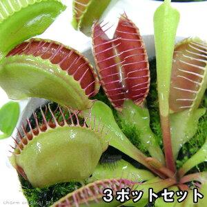 ガーデニング>食虫植物(食虫植物)ハエトリソウ (3ポットセット)