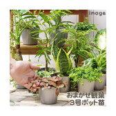 (観葉)おまかせ観葉植物 3号(1ポット)