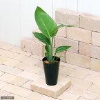 (観葉植物)ストレリチア オーガスタ(ニコライ) 4号(1鉢)