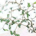 (観葉植物)メルヘンの木 ソフォラ リトルベイビー 3号(1ポット)の写真