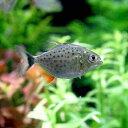 (熱帯魚)ピラニア・ナッテレリー Sサイズ(ブリード)(1匹)