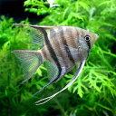 (熱帯魚)ドゥメリリ・エンゼルフィッシュ(ワイルド)(1匹) 北海道・九州・沖縄航空便要保温