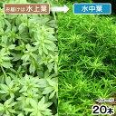 無農薬!(水草)ベトナムゴマノハグサ(水上葉)(無農薬)(20本)