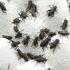 (生餌)クロコオロギ(フタホシコオロギ) SM 10グラム(約50匹) 爬虫類 両生類 大型魚 餌 エサ 北海道・九州航空便要保温