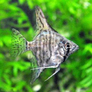 (熱帯魚)ゼブラ・エンゼルフィッシュ(国産ブリード)(1匹)  北海道・九州航空便要保温