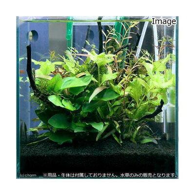 色鮮やかな水草でボリューム感溢れるレイアウトを!■小型水槽用水草12種セット アヌビアスナ...