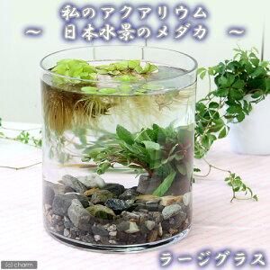 (めだか 水草)私のアクアリウム 〜日本水景のメダカ〜ラージグラス(直径18.0×H20cm)…