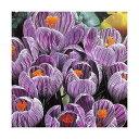 (観葉植物)スーパージャンボ クロッカス球根(水栽培向き) 絞り咲き系(5球)
