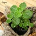 (観葉植物)ハーブ苗 アロマティカス 3号(1ポット) 家庭菜園 北海道冬季発送不可