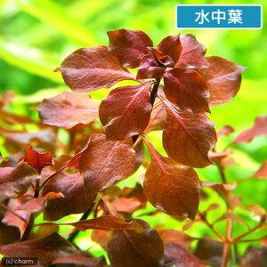 ルドウィジアsp.スーパーレッド水上葉(無農薬)