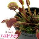 虫を捕食する脅威の植物!一風変わったインテリアにも!(食虫植物)ハエトリソウ レッドグリ...