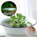卵が孵るかも!◆メダカのたまご付きホテイ草(青メダカ)(1株)