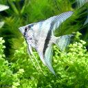 (熱帯魚)エンゼルフィッシュ ブルー(ウィルヘルムブリード)(1匹)  北海道航空便要保温