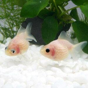 金魚・メダカ・錦鯉・日淡>金魚>リュウキン型(金魚)ミルクピンポンパール(3匹)