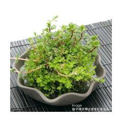 無農薬!お買得!初心者の方にお勧め!■寄せ植え水草 丸型(1個)
