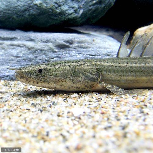 (熱帯魚)ポリプテルス・ビキール・ラプラディ ナイジェリア産 23~27cm(ワイルド)(1匹) 北海道航空便要保温