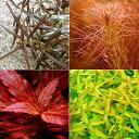 (水草 熱帯魚)おまかせ4色紅葉セット(無農薬)(10本)(水上葉) 北海道航空便要保温