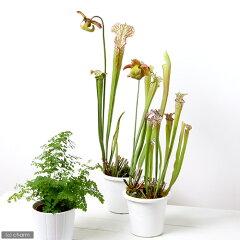 落とし穴タイプの食虫植物!(ビ)爛漫 サラセニア ドラモンデー 4.5号(1鉢)