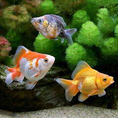 (金魚)ミックス琉金 ショートテール(中国産)(1匹)