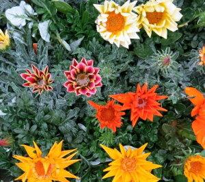 花壇を彩るガザニア・ガズー苗 5個セット