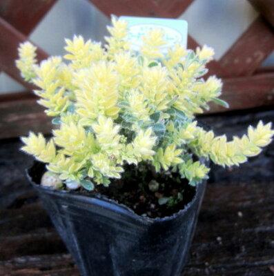 【ロータス・ブリムストーン】うぶ毛の生えたライムグリーンの葉♪ロータス・ブリムストーン苗