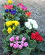 プリムラジュリアン・インブライト 八重咲き(バラ咲き) 10個