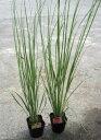 ススキの葉に似て、存在感を示す植物パンパスグラス ポット苗