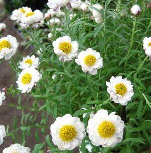 【2個セット】ローダンセ 花かんざし(ハナカンザシ)3.5号苗(h3 h5)