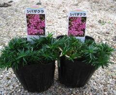 芝桜(シバザクラ)で花の絨毯を芝桜(シバザクラ) ピンク 2個