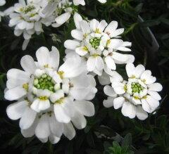 寒い季節から開花する 宿根草イベリス(シュッコンイベリス)3.5号ポット