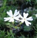 芝桜(シバザクラ) ホワイト 「2個セット」