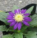 ミヤコワスレ みのる紫(ミノルムラサキ) 3号苗(b5)