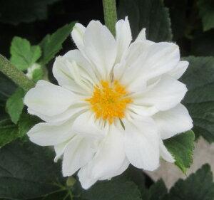 菊のような花秋明菊(シュウメイギク) 白八重 5号苗