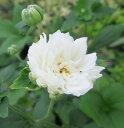 牡丹咲き秋明菊(ボタンザキシュウメイギク) 3.5号苗(b1...