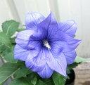 桔梗(キキョウ)苗 八重咲き「麒麟」高性種 3.5号苗(b11)