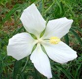 白花モミジアオイの種