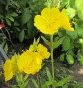 エノテラ昼咲きツキミソウ(月見草)立性黄色