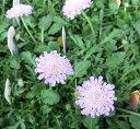 ふわふわのかわいい花 セイヨウマツムシソウ(西洋松虫草)3.5号苗 【別名:スカビオサ】ピンク