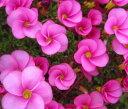 桃花のオキザリスオキザリス 桃の輝き