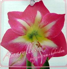 アマリリス レッド 5号鉢植え