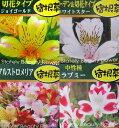 【品種で選べる】アルストロメリア 3.5号ポット苗(b)