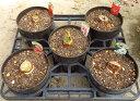 【5種から選べる】アマリリス 5号鉢植え
