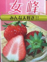 秋野菜 「はるのか」と「ダナー」の交配に「麗紅」を交配した品種のイチゴ苗いちご苗 女峰
