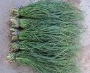 【早期予約品】 タキイの長期保存用玉ねぎ苗「タマネギ ネオアース」500本