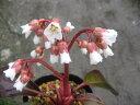 白花ヒマラヤユキノシタ