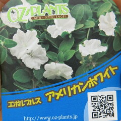 珍しい白花のアメリカンブルー エボルブルス アメリカンホワイト